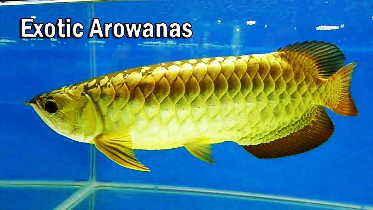 Arowana Fish | My New Fish And Buying Exotic Arowana Fishes Youtube