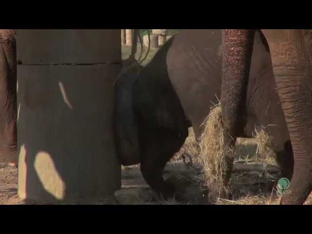 Baby elephant play with a tire part 2