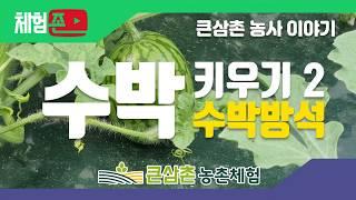 [체험존] 큰삼촌농촌체험 - 농사이야기 : 수박키우기2…