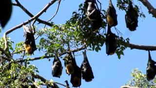 Cairns bats sleeping in tree