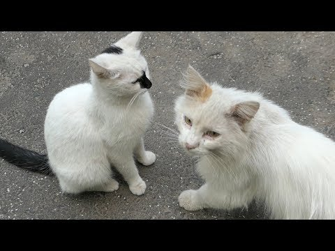Two white cats with a tortie cat they are friendly family