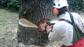 Abbattimento controllato cedro di oltre 20 mt  - Il Grigio Cooperativa Sociale onlus
