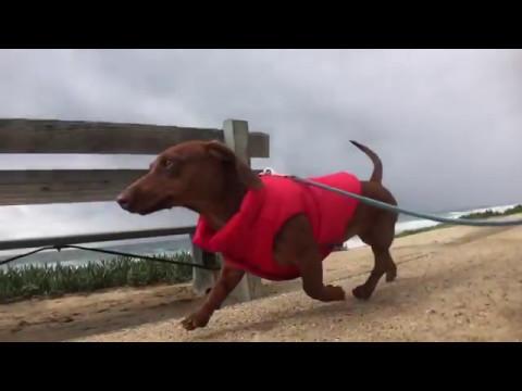 Django - Dachshund Puppy Shows Off His New Puffer Dog Coat