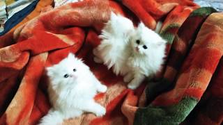 Persian kittens cat for sale in Pune contact me 986OO29O57