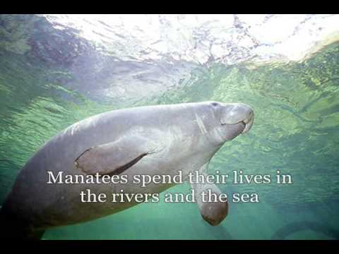 Sing About the Manatee