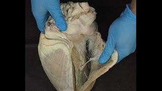 сердце домашних животных