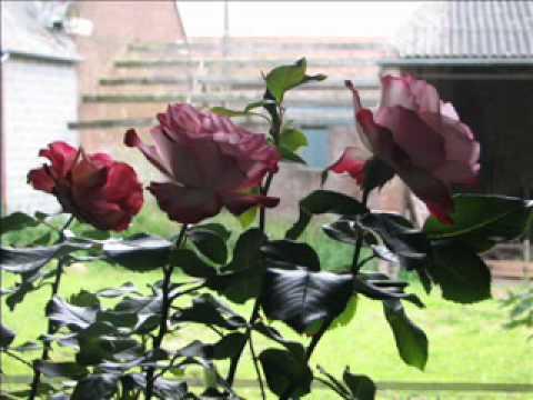 Julos Beaucarne De mémoire de rose.wmv