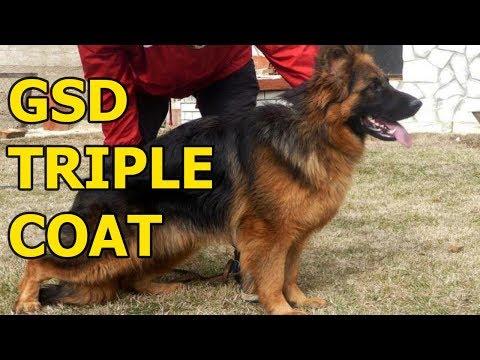 German shepherd triple coat dog training for police dogs