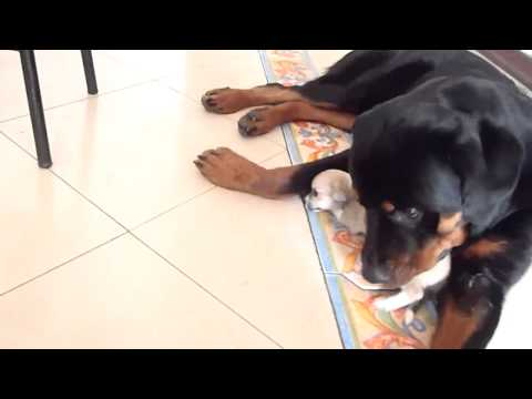 Rottweiler cuddling two chihuahua puppies