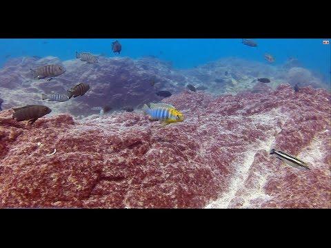 Ndomo Reef Likoma Island - African Cichlids - HD Underwater Footage