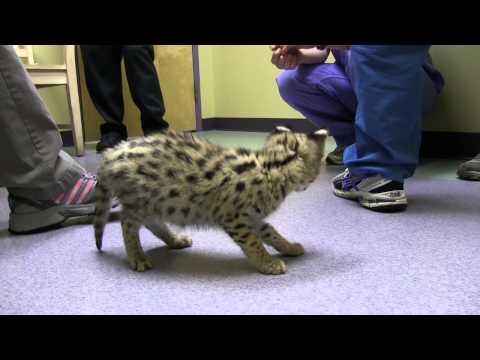 Baby Serval Wellness Exam - Exotic Pet Vet