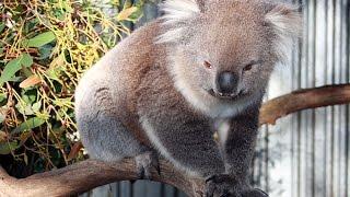 Słodkie przytulanki, czyli australijskie torbacze
