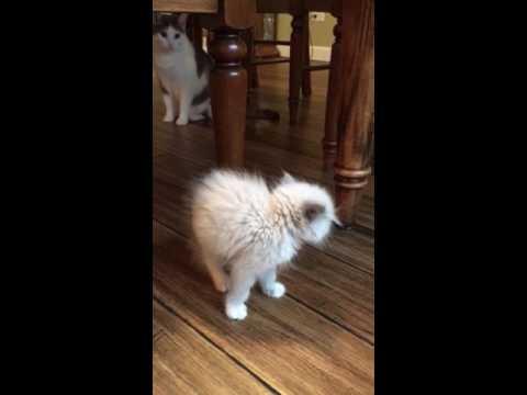 Ragdoll Kitten meets Resident Cat