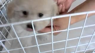 http://www.mixdog.jp/ おっとりマイペースなミックス犬ペキプーの男の...