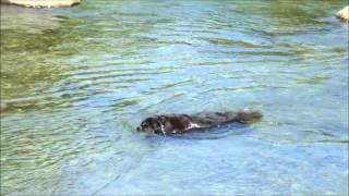 ニューファンドランドのトアが川遊びをしました。オールドイングリッシ...