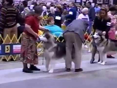 2003 Febuary- Chicago Alaskan Malamute dog show