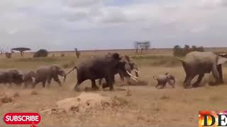King Lion sleeping unexpected by Crazy Rhino attack, Lion lucky escape,