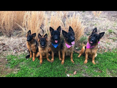 Different types of German Shepherds.
