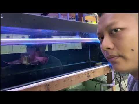 Jackson At Hin Arowana Gallery (Malaysia) 龙鱼专卖店