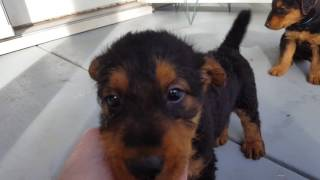 Airedale Terrier Puppies Sale Video - S & S Family Airedales -Aaliyah's Porch Airedale Puppies