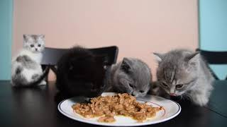 PawTree Cat food Real Turkey and Chicken with gravy