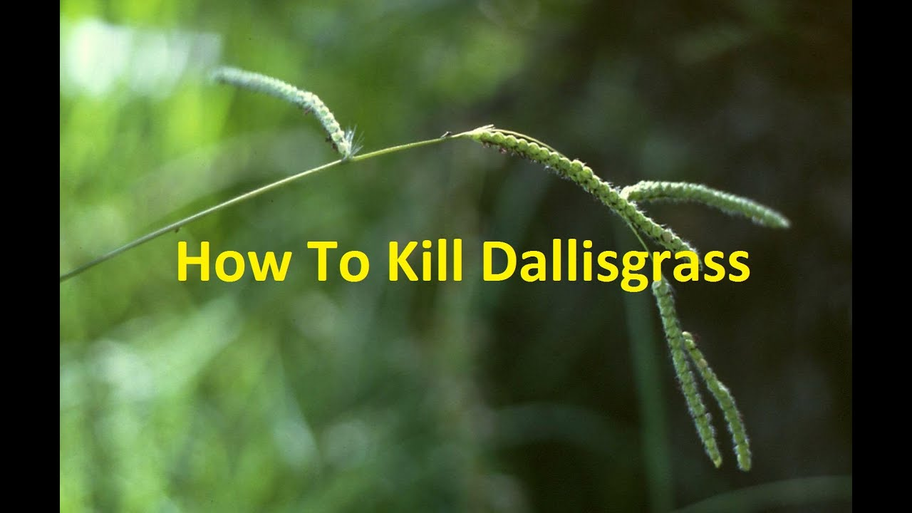 How To Kill Dallisgrass In Southern Lawns Youtube