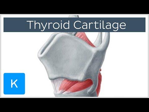 Thyroid Cartilage - Definition & Function - Human Anatomy |Kenhub