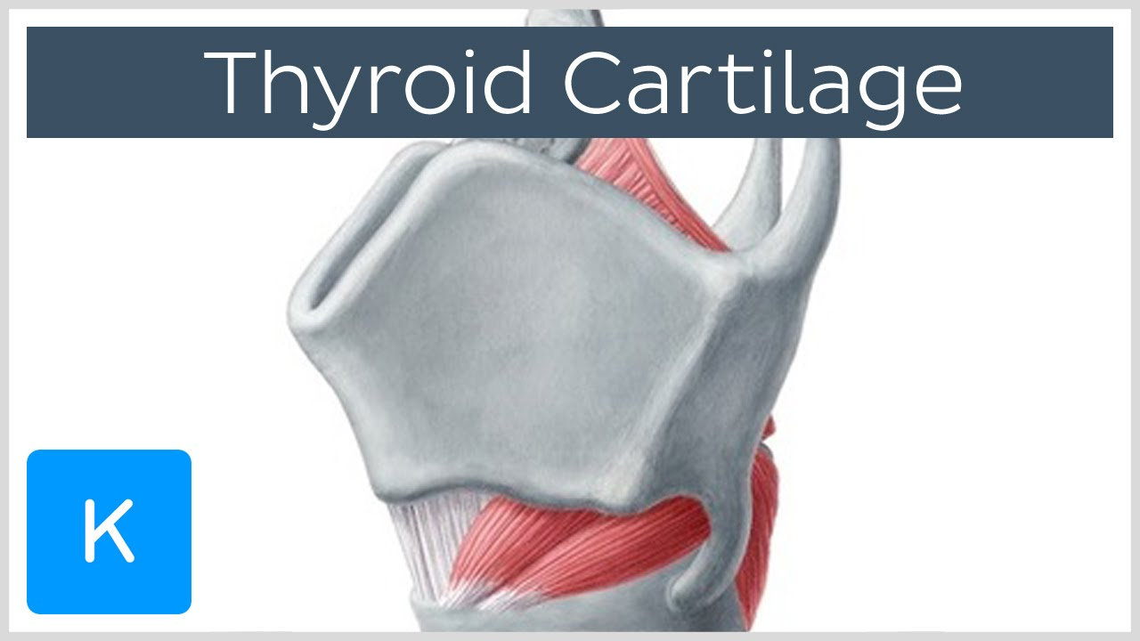 Thyroid Cartilage Definition Function Human Anatomy Kenhub