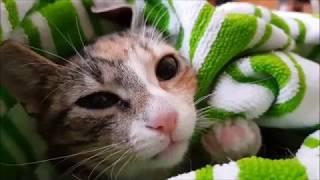 Кот Олаф кормит грудью котят 😂👍 Рокки и Рикки  ждут маму и папу!