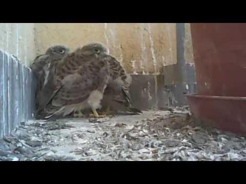 Hawk's nest on my balcony