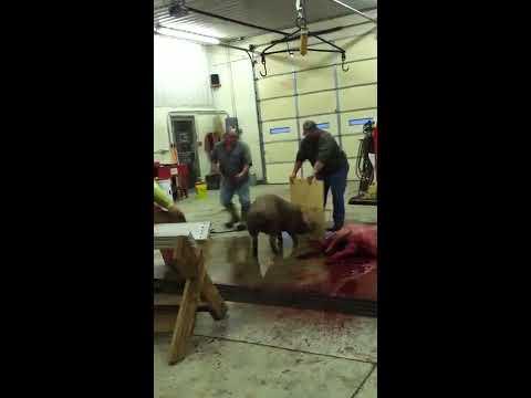 Pig slaughter missed shot