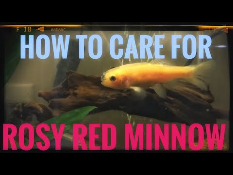Rosy Red Minnow Care