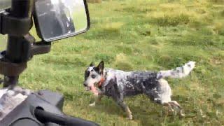 Day on the farm | Australian Cattle Dogs