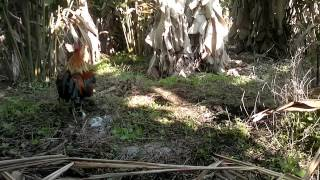 Video Pikat Ayam Hutan Ego #2 download MP3, 3GP, MP4, WEBM, AVI, FLV Desember 2017