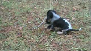 Training A Blue Tick Coon Hound Puppy 8a Myeyes2you