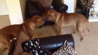 My Two Dogue De Bordeaux Dogs Play Fighting