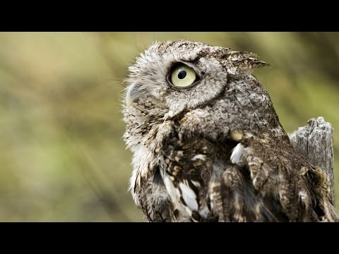 Help Protect the Western Screech Owl