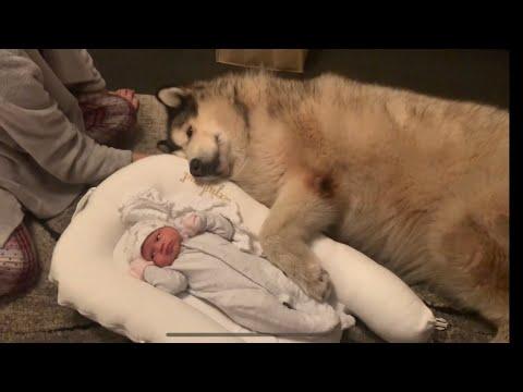 DOGS BONDING WITH NEWBORN BABY