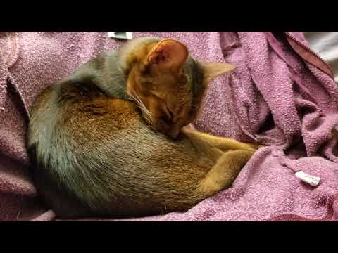 Abyssinian cat Larry bathes himself loudly ASMR