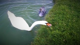 Funny Swans eating grass!