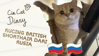 Kucing British Shorthair dari Rusia - Cia Cat Diary - Ep 29