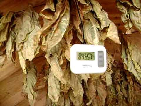 Tobacco Barn drying leaves! Virginia Gold Tobacco!