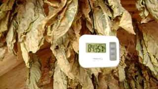 Tobacco Barn drying leaves! Virginia Gold Tobacco!