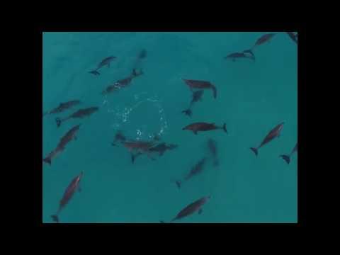World Surf League dolphin