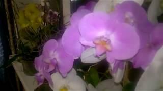 Орхидеи, зацвел Дендробиум