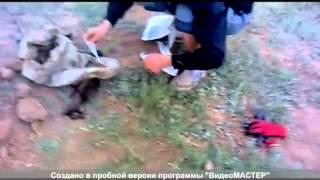 Охота на сурка капканами видео