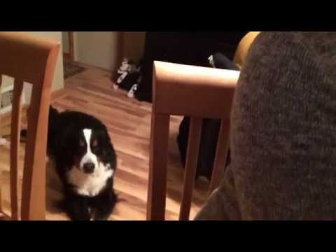 Bernese Mountain Dog 'Summit' Howling to Sweet Melissa