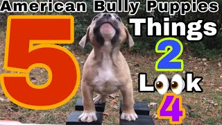 What To Look For When Purchasing or Buying An American Bully Puppy