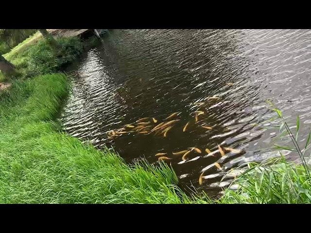Ihmsen - Der Forellengott Forellensee Rosenweiher Der Norden dreht ab! Gold schürfen! Goldbarren!NEU