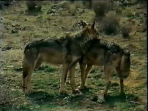 el lobo felix rodriguez de la fuente - lobo corteja a loba